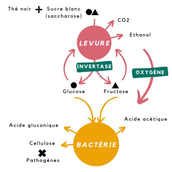 kombucha levure bactérie scoby